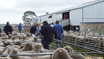 Haven Park Sheep Studs - Pic from 2014 Ram Sale