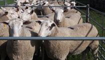 Haven Park Poll Dorset Rams