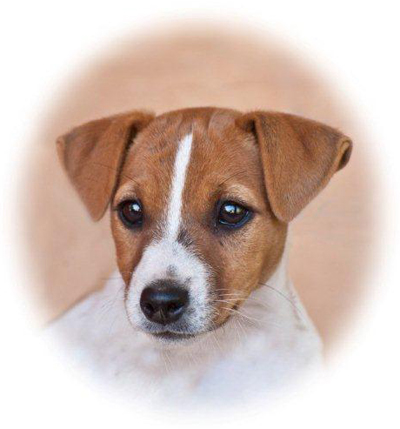Jack Russell Breeding - Haven Park