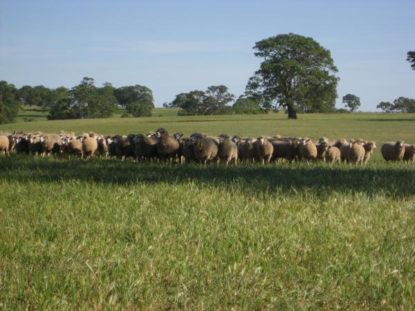 Corriedale / East Friesian / Poll Dorset ewes with Poll Dorset lambs