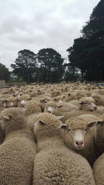 Ewe Lambs 5 months. Corrie/Border/EastFriesian. Their brothers averaged 27.9kg carcass weight.