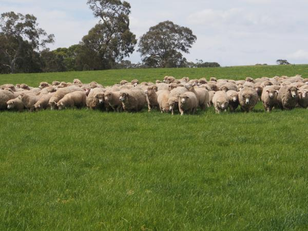 Corriedale ewes with East Friesan / Poll Dorset lambs