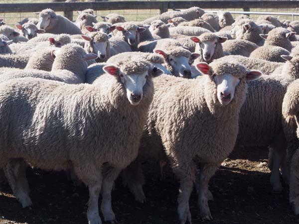 Cross breed lambs. Dressed weight at JBS 31.2kgs.