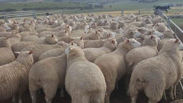 The entire drop of June born maternal EF/BL/CORR wether lambs were sent to ALC this week and dressed out to average 28.8kg carcass weight!