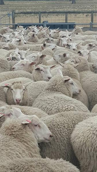 75% East Friesian Ewe Lambs 5 months.