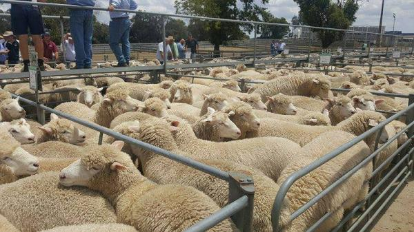 Lambs born in June and estimated to dress 38kg. They topped the yard at Mt Gambier 2018 at $215 for the run.