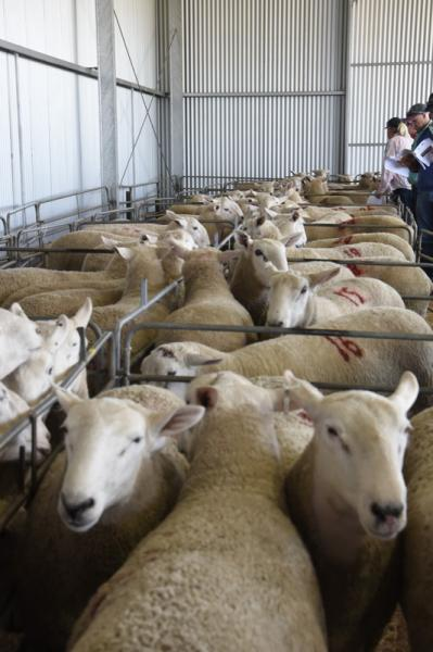 Sale Rams at the October 2018 Sale