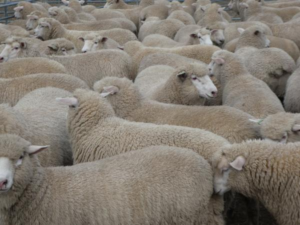 5500 sucker lambs for the year 2019 averaged $197.
