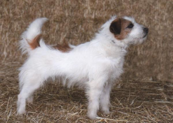 Wildenfox Maryanne Ruby [Maggie]  DOB 31/1/2019  Sire: NZ CH. Accolade he'll break hearts  Dam: Pretorium Margies Choice