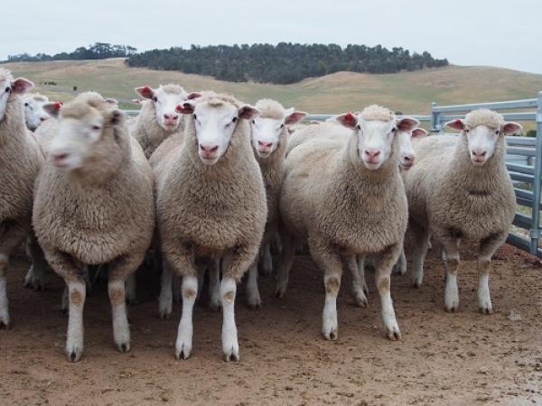 2014 Sucker Lambs PD sires.