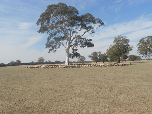 Feeding ewes Autumn 2013