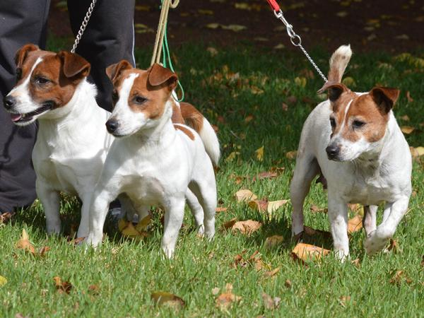 National Jack Russell Terrier Show, 2013 & 2014 - Haven Park Kennels Winner Progeny Group
