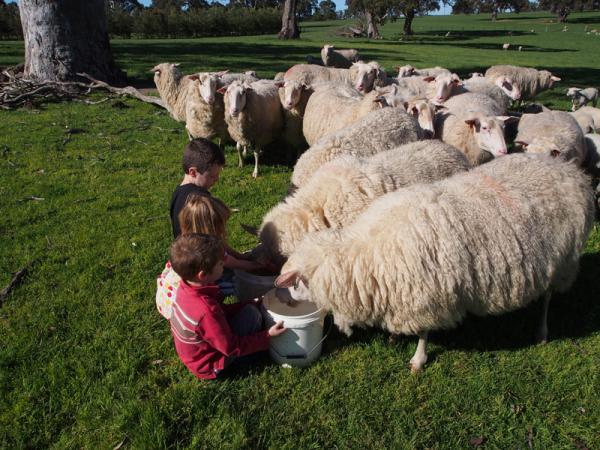 Grandchildren feeding ewes
