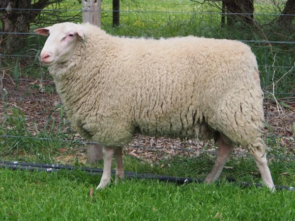 "East Friesian Ram purchased from ""Prospect"""