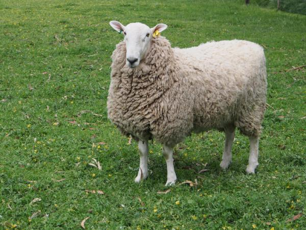 """Border Leister Ram purchased from """"Coolawang"""""""