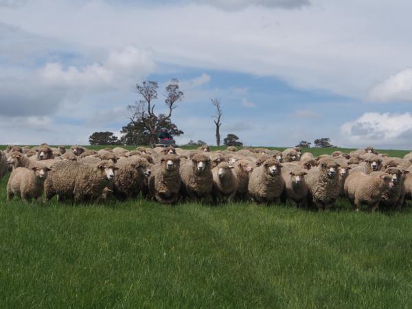 Corriedale Ewes
