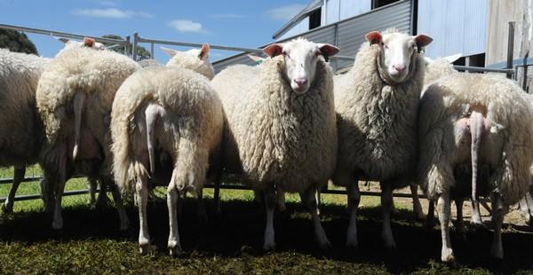 Young ewes Oct 2012