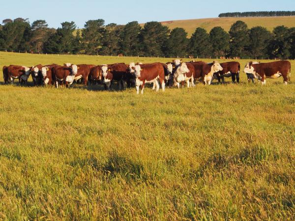 2013 drop Simmental x Hereford heifers retained.