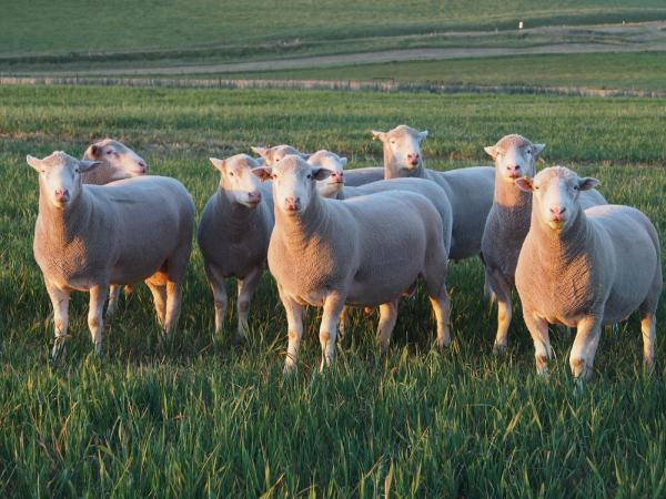 Some of the rams we retained for commercial ewes in 2014 at 17 months.