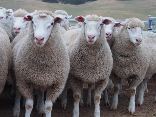 Lambs sold in November. June July Drop - Averaged 27.6kgs